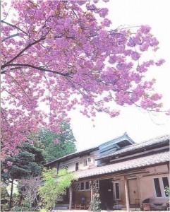 Kura桜[1]